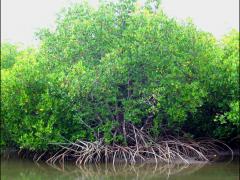 Palétuvier de Nouvelle-Calédonie : Rhizophora stylosa