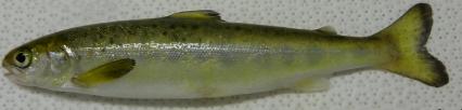 Juvénile de saumon Salmo salar en cours de smoltification lors de la dévalaison (Fleming et al., 2019) - S. Dufour