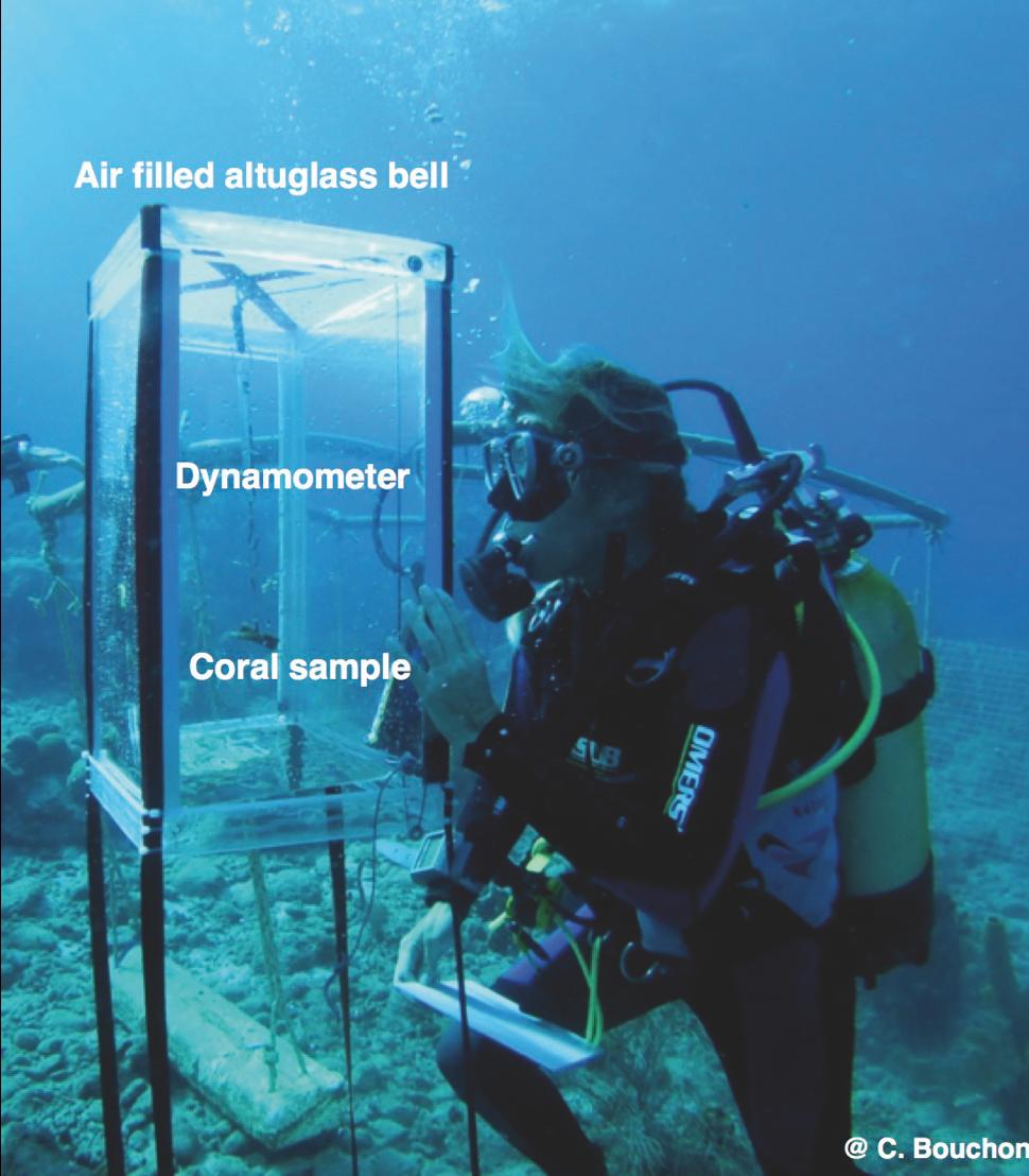 Pesée de boutures de coraux in situ. (Ilets Pigeon, Bouillante).
