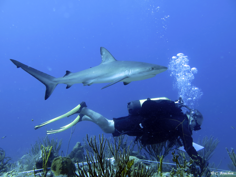 Relevés de coraux par transect… Les risques du métier… (Saint-Barthélemy).