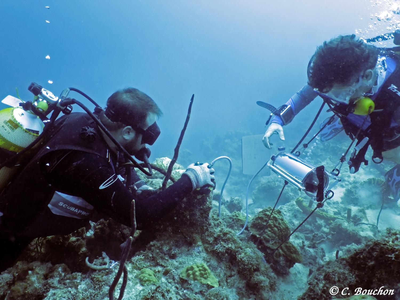 Étude de la physiologie respiratoire des coraux à l'aide d'un fluorimètre submersible «Diving-PAM» (Caye à Dupont, Guadeloupe).