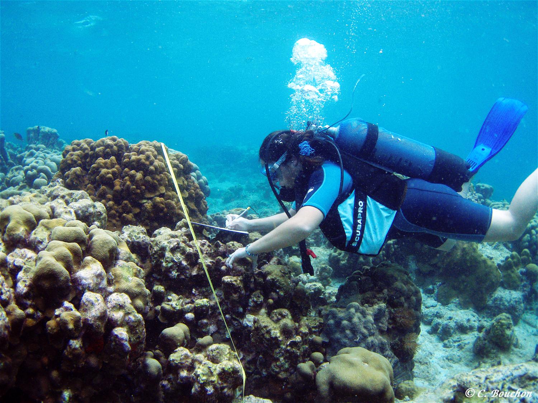 Mesure du recouvrement corallien par la méthode des «transect-Intersept» (Grand Cul-Sac-Marin, Guadeloupe).