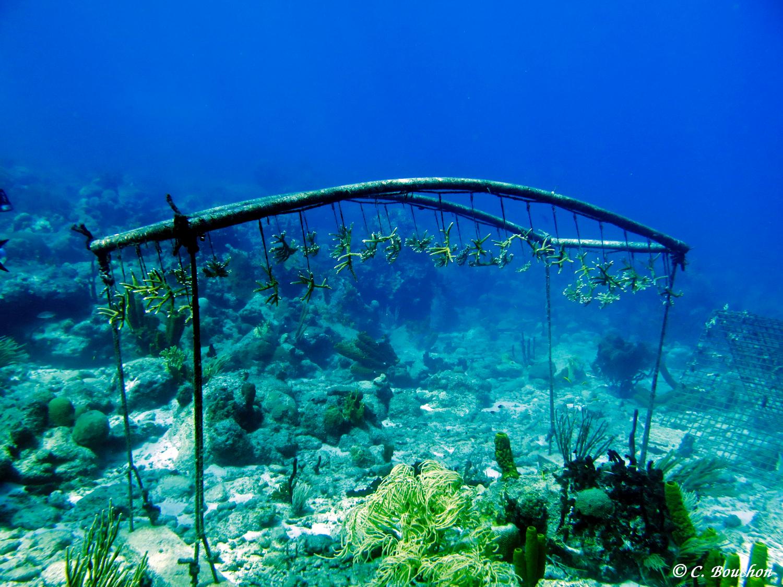Restorauration corallienne : élevage de boutures d'Acopora en pleine eau. (Ilets Pigeon, Bouillante).