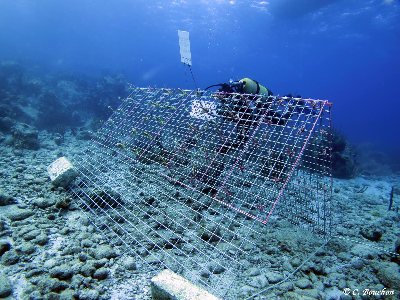 Restauraration corallienne : élevage de boutures d'Acopora sur cadre métallique. (Ilets Pigeon, Bouillante).