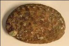 Haliotis tuberculata, coquille aragonitique - S. Auzoux-Bordenave