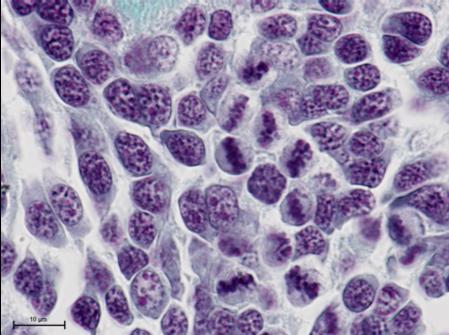 Suivi de la reproduction chez le Buccin Buccinum undatum - K. Kellner