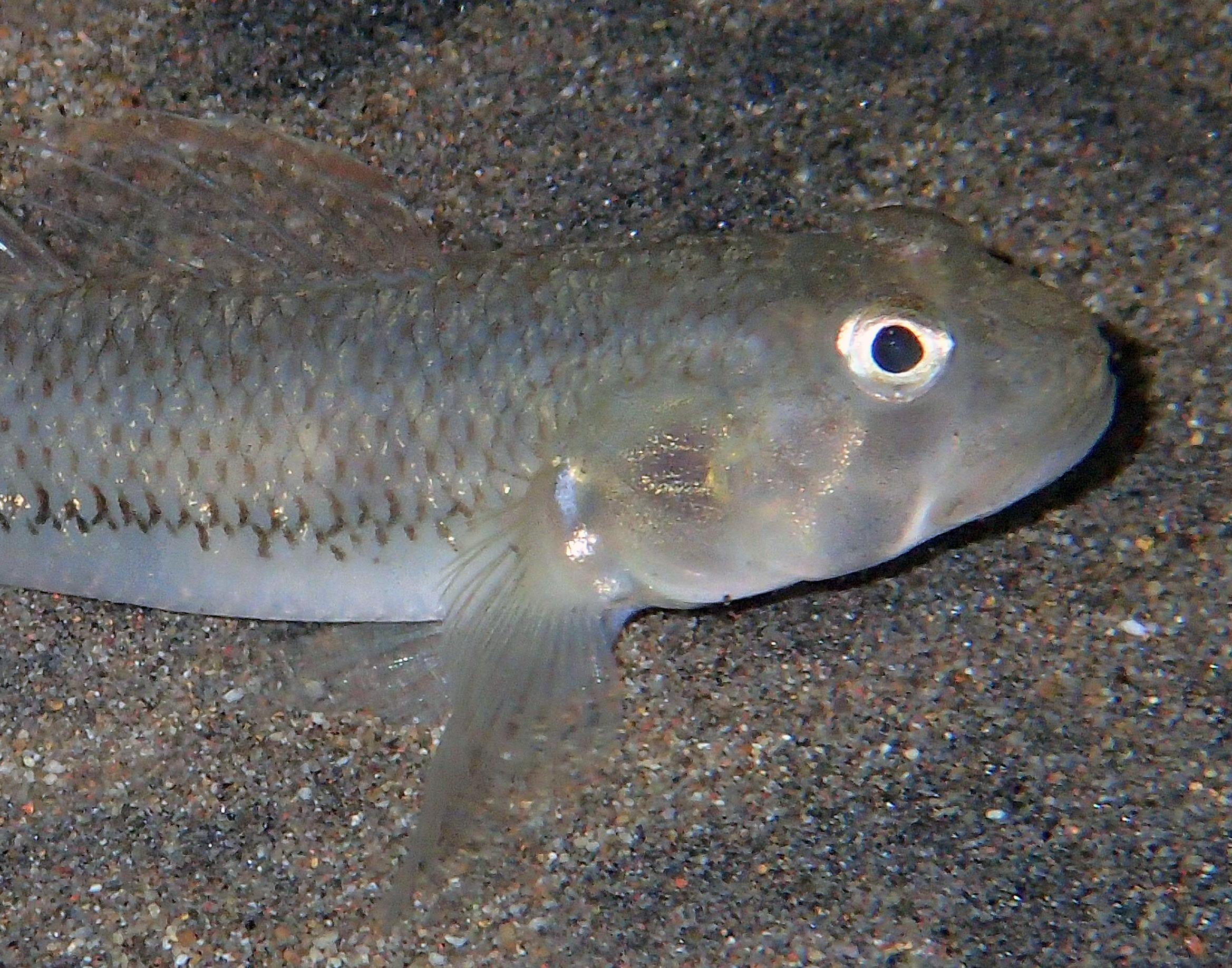 Stenogobius sp. Photo C. Lord