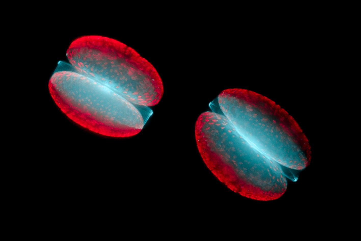 Diatomées - P.J. Lopez