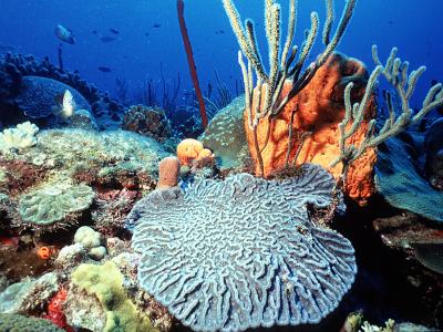 Peuplements coralliens - C Bouchon