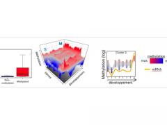 Chez Crassostrea gigas, méthylation de l'ADN et niveaux d'expression sont correlés au cours du développement (from Riviere et al. 2017) - G. Rivière