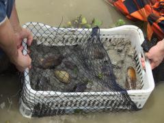 Cage contenant des bivalves vivants (moules d'eau douce, Anodontites sp.) et leur substrat, expérience de calibration de marqueurs géochimiques - C.E. Lazareth