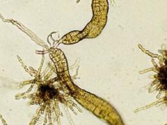 Plantules in vitro de Laminaria digitata