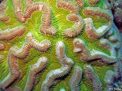 Corail cerveau : Colpophyllia_natans. Photo Claude Bouchon