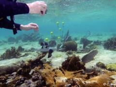 Impact de l'hydrodynamisme sur les gorgones. Enregistrement mouvements de la houle  (Grand Cul-Sac-Marin, Guadeloupe). Photo Claude Bouchon
