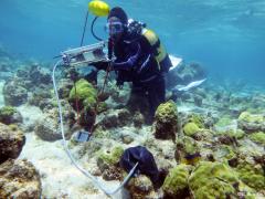 Étude de la physiologie respiratoire des coraux à l'aide d'un fluorimètre submersible «Diving-PAM» (Grand Cul-Sac-Marin, Guadeloupe). Photo Claude Bouchon