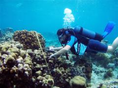 Mesure du recouvrement corallien par la méthode des «transect-Intersept» (Grand Cul-Sac-Marin, Guadeloupe). Photo Claude Bouchon
