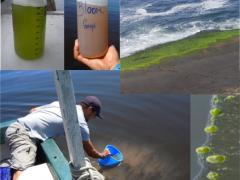Eutrophisation de la Baie de Guanabara : blooms de phytoplancton dominés par des dinoflagellés (rouge/brun) ou des cyanobactéries filamenteuses (vert)