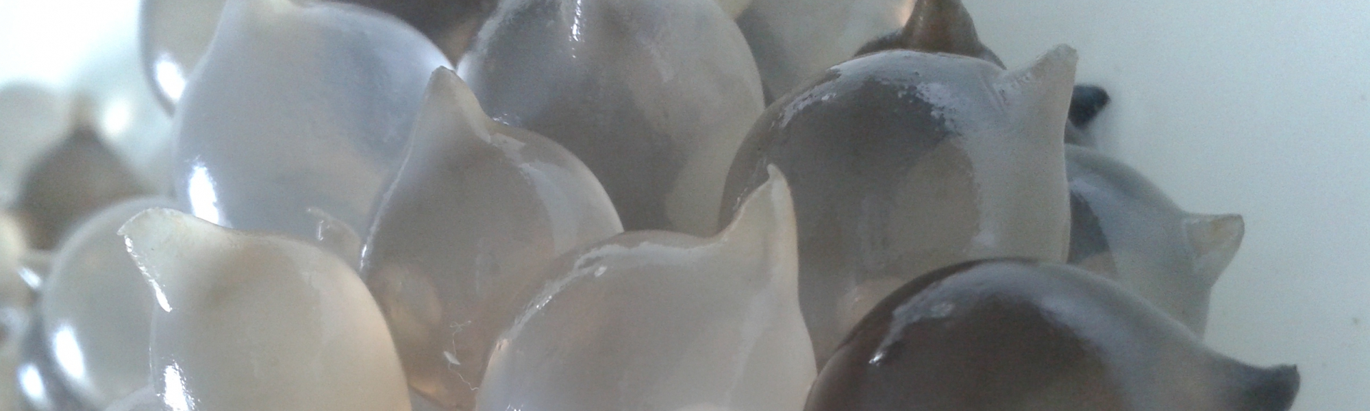 Œufs de seiche, Sepia officinalis, avec enveloppes noires et blanches ; les embryons sont observables au travers de la capsule - L. Ponticelli