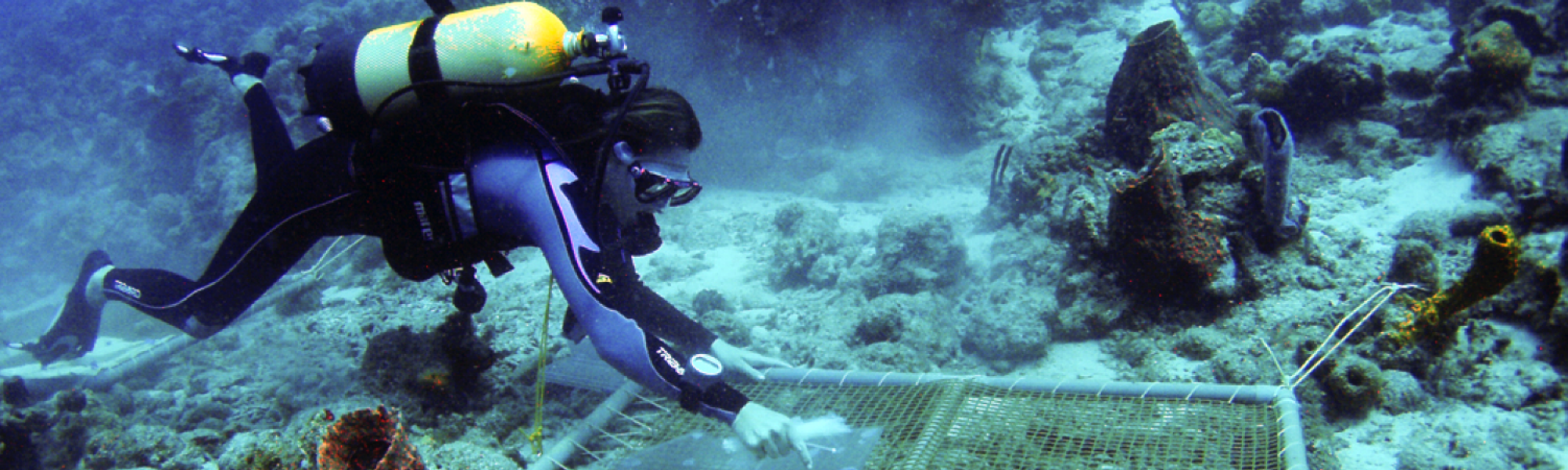 Étude du recrutement larvaire des coraux sur des plaques de terre cuite (Ilets Pigeon, Bouillante). Photo Claude Bouchon